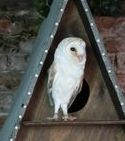 Wild barn owl in a barn